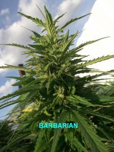 27-08-2014 barbarian4.jpg