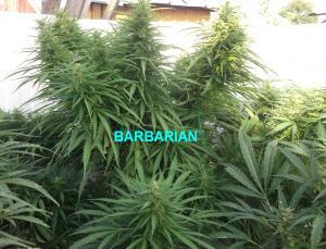 27-08-2014 barbarian3.jpg
