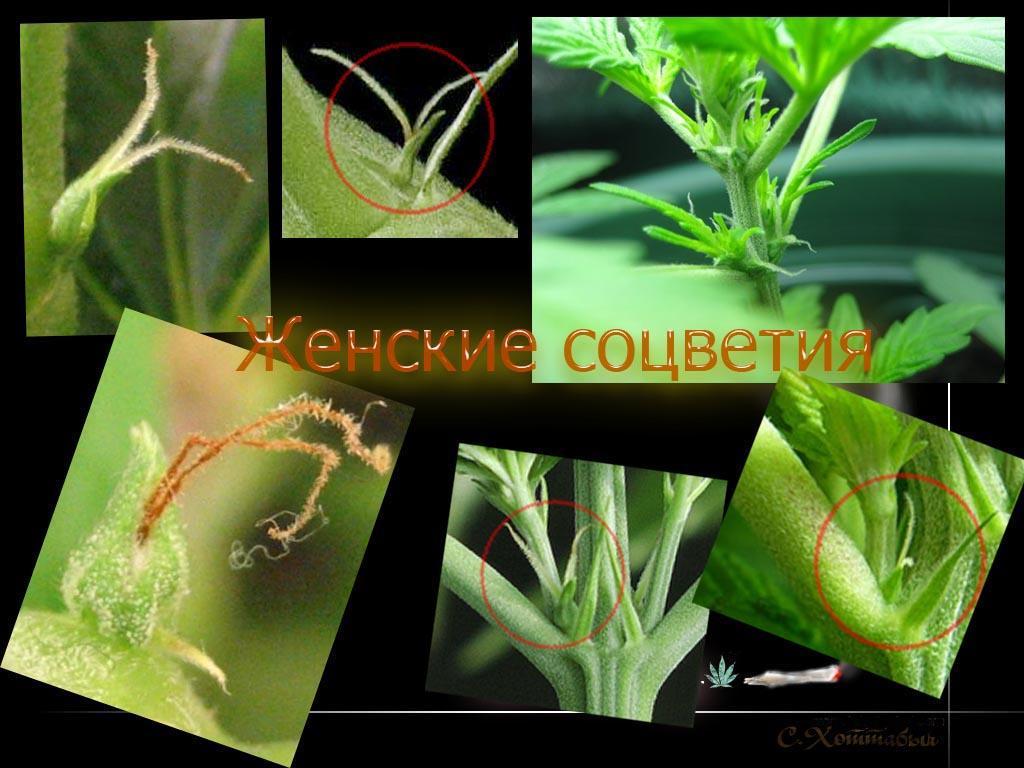 Пол у марихуаны семена конопляные купить ростов
