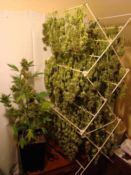 Быстро сушить коноплю вырастить марихуану в домашних условиях