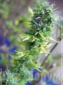 Хмель привитый к конопле марихуана корона