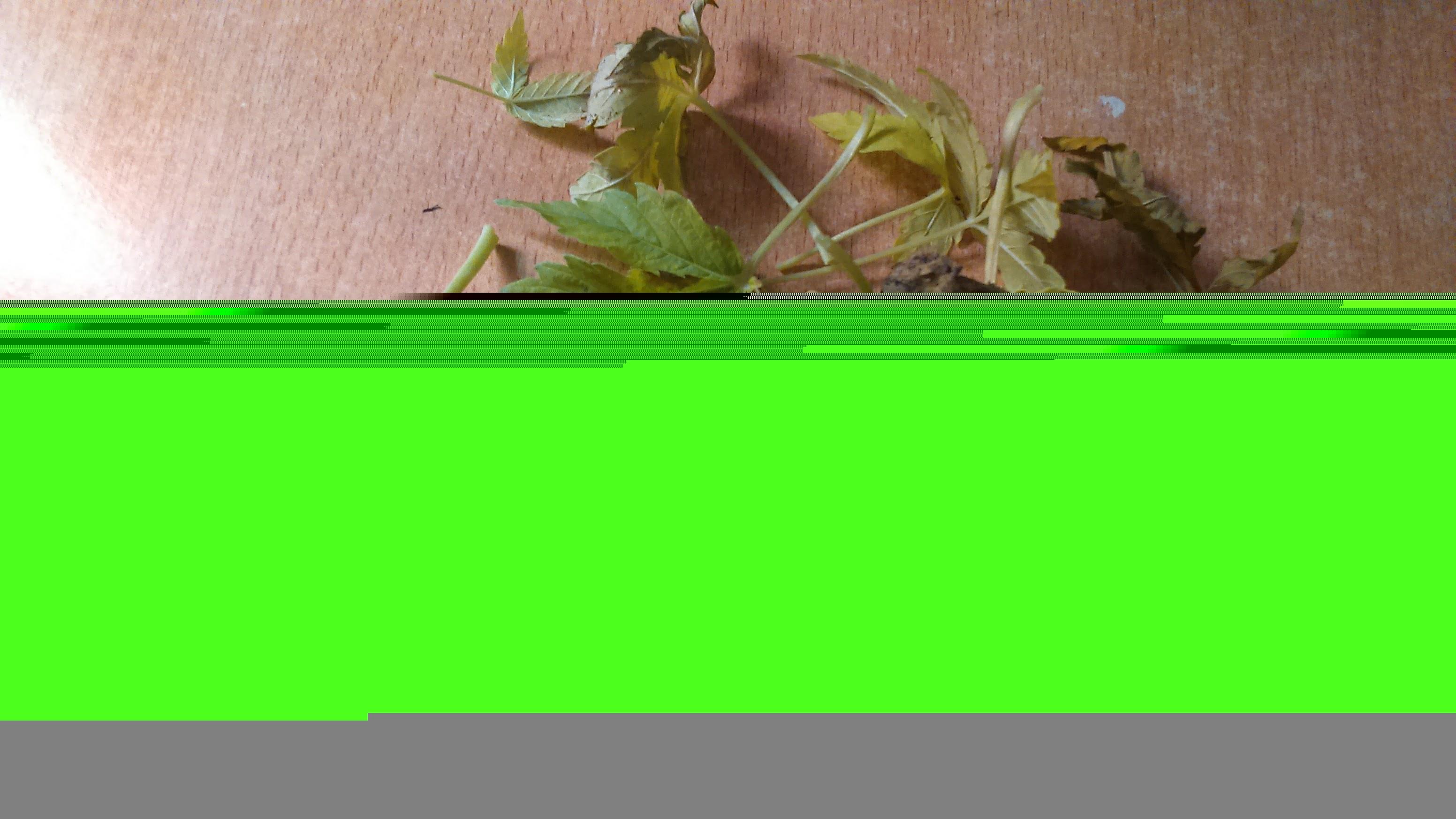 Вянут листья у плюща что делать и фото