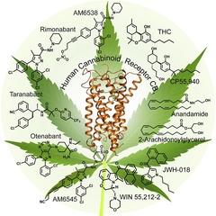 CB1  - активная молекула каннабиноида