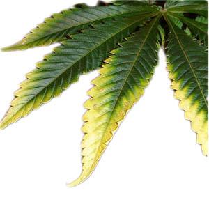 white-leaves-marijuana-blowgrow.png