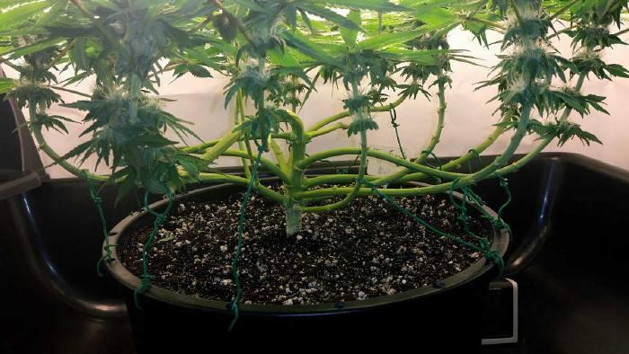 Сгибание конопли россия медицинская марихуана