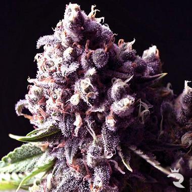auto-purple_enl.jpg.ba36d2fe38251f01a99a685d7a66bc4b.jpg