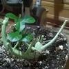 лимончики,мои лимончики,а где растете,у кости на балкончике)))