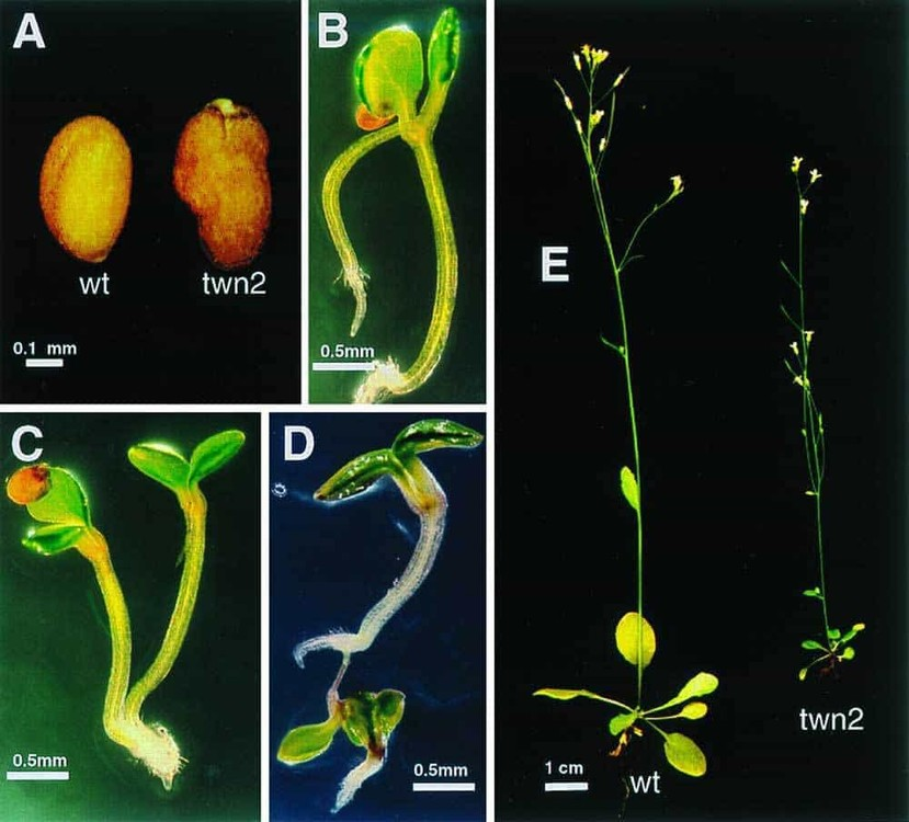 Common-Weed-Mutations-Polyembryonic-Seeds-1.jpg