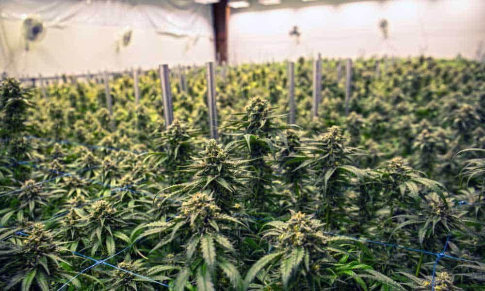 Marijuana-Grow-Facility-Tours.jpg