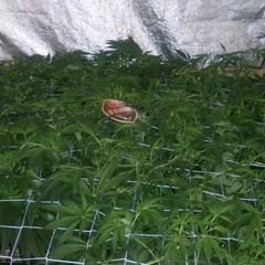 Ayahuasca Purple 52 дня от каски,35 дней Веги,7 дней Предцвета).JPG