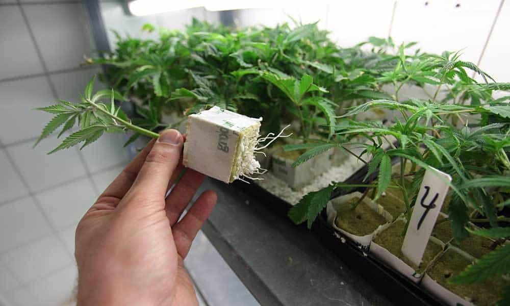 Фото конопли в индоре как провести через границу марихуану