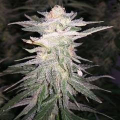 PowerPlant  4 неделя цветения1.jpg