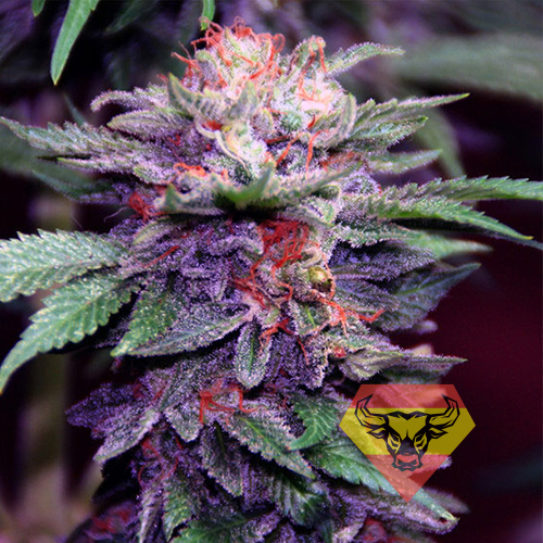 AUTO-PURPLE-SPAIN-FEMINIZED.jpg