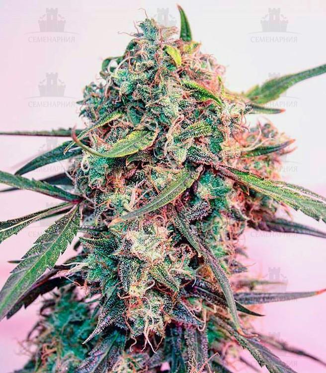Cheese_fem_green_house_seeds_konoplya_shishka__R8uZuagmtOr6KaPo.thumb.jpg.13f53bfb0b434059226e4eae5b7997f5.jpg