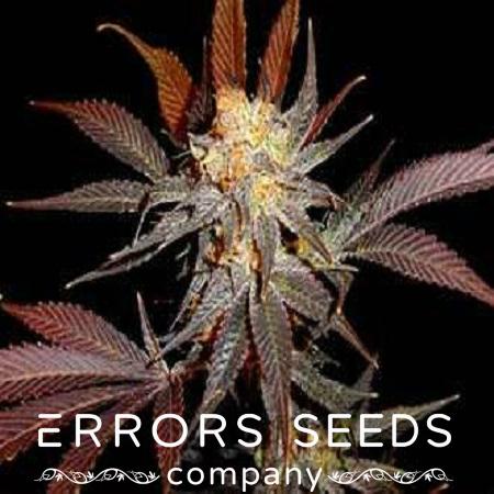 errors-seeds-auto-lavender.jpg