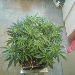 Critical + 2.0 fem (Dinafem Seeds) .
