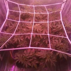 Wembley fem (Pyramid Seeds)