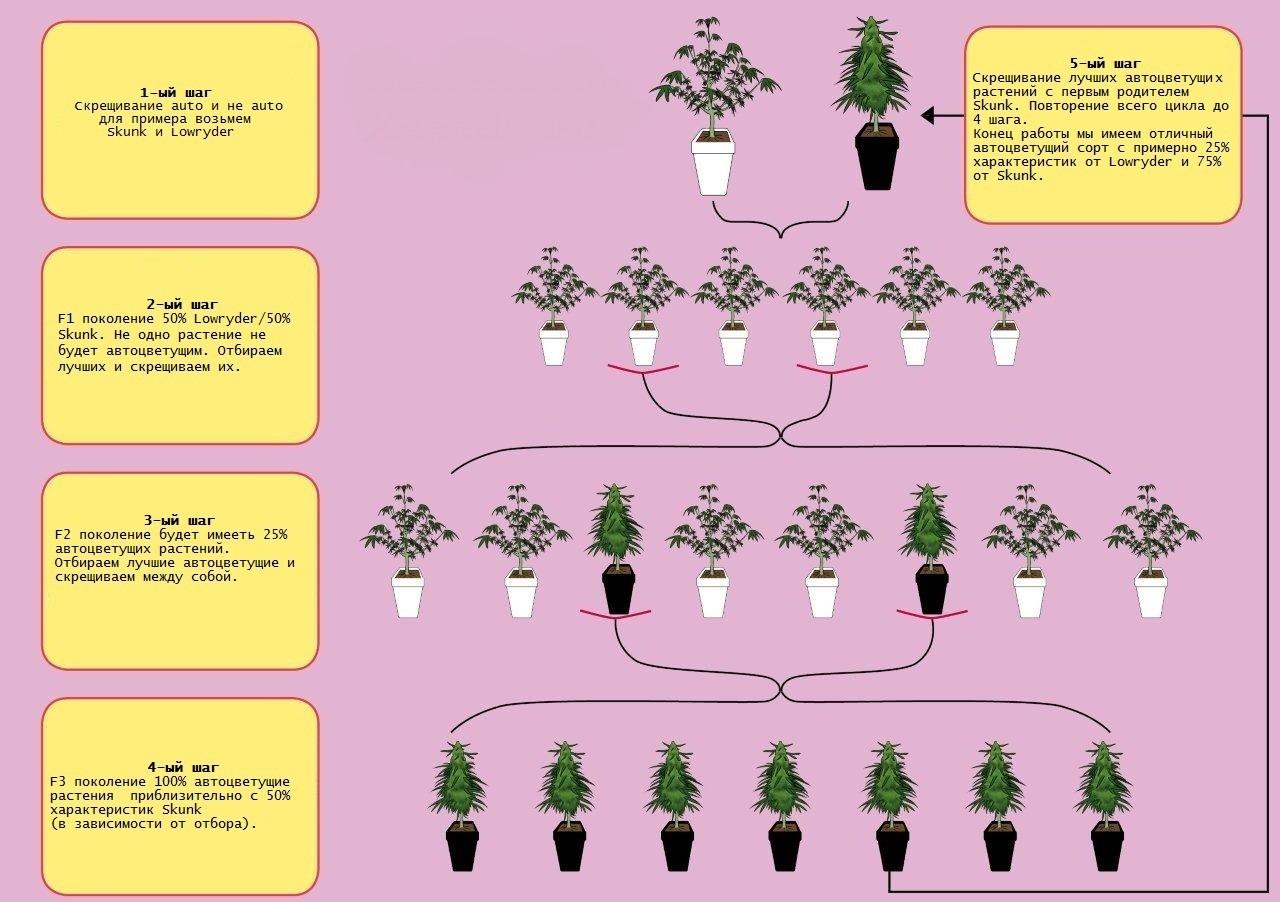 Скрещивание конопли с растениями бесплатные картинки коноплей