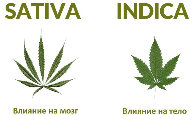 Сорта марихуаны и их эффект как правильно ухаживать за ростками марихуаны