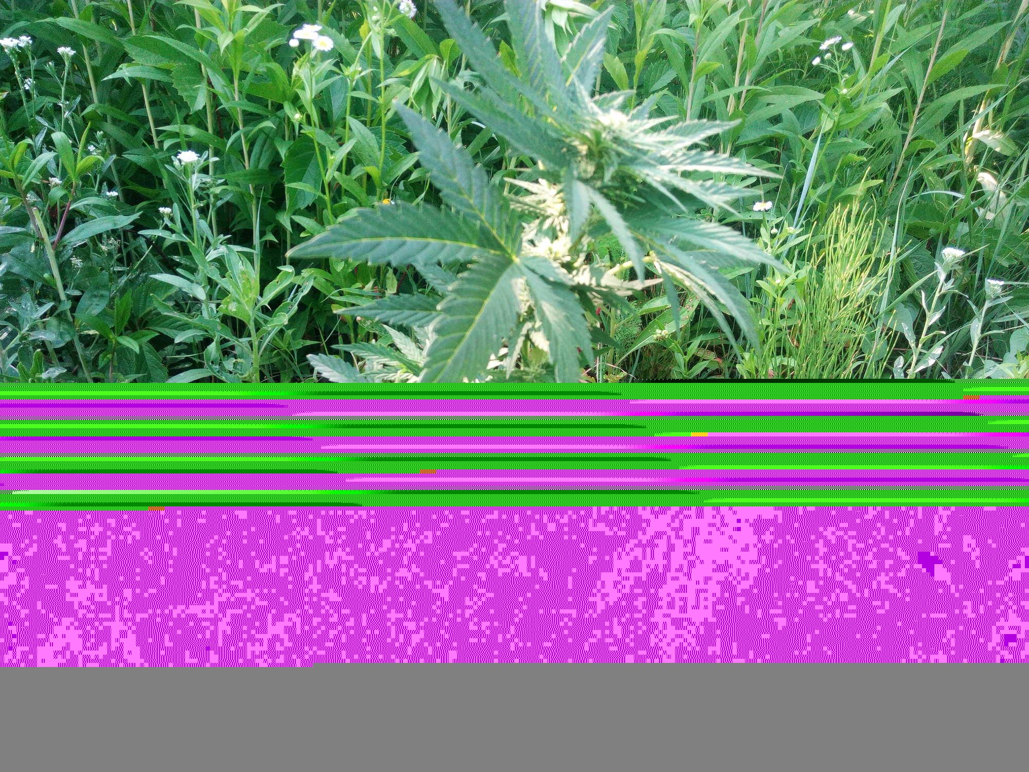 Kali Mist (ES) 8й день цвета..jpg