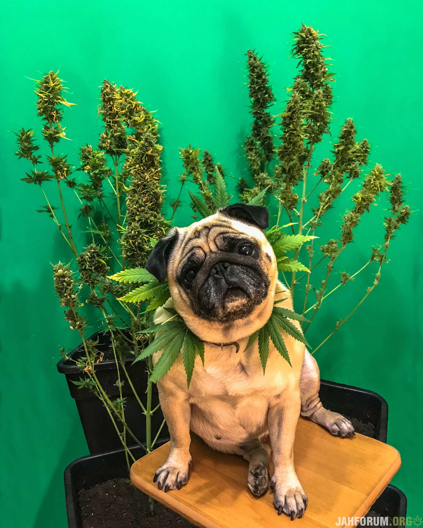 Cannabis pug