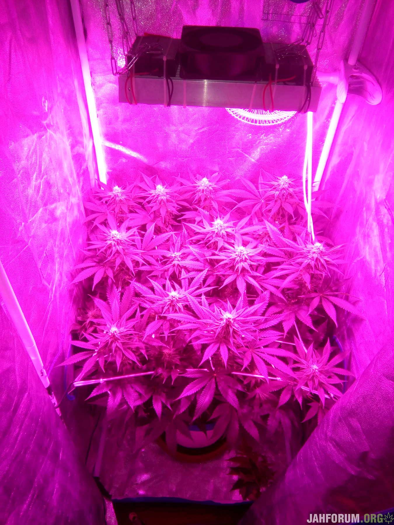 Ayahuasca Purple fem