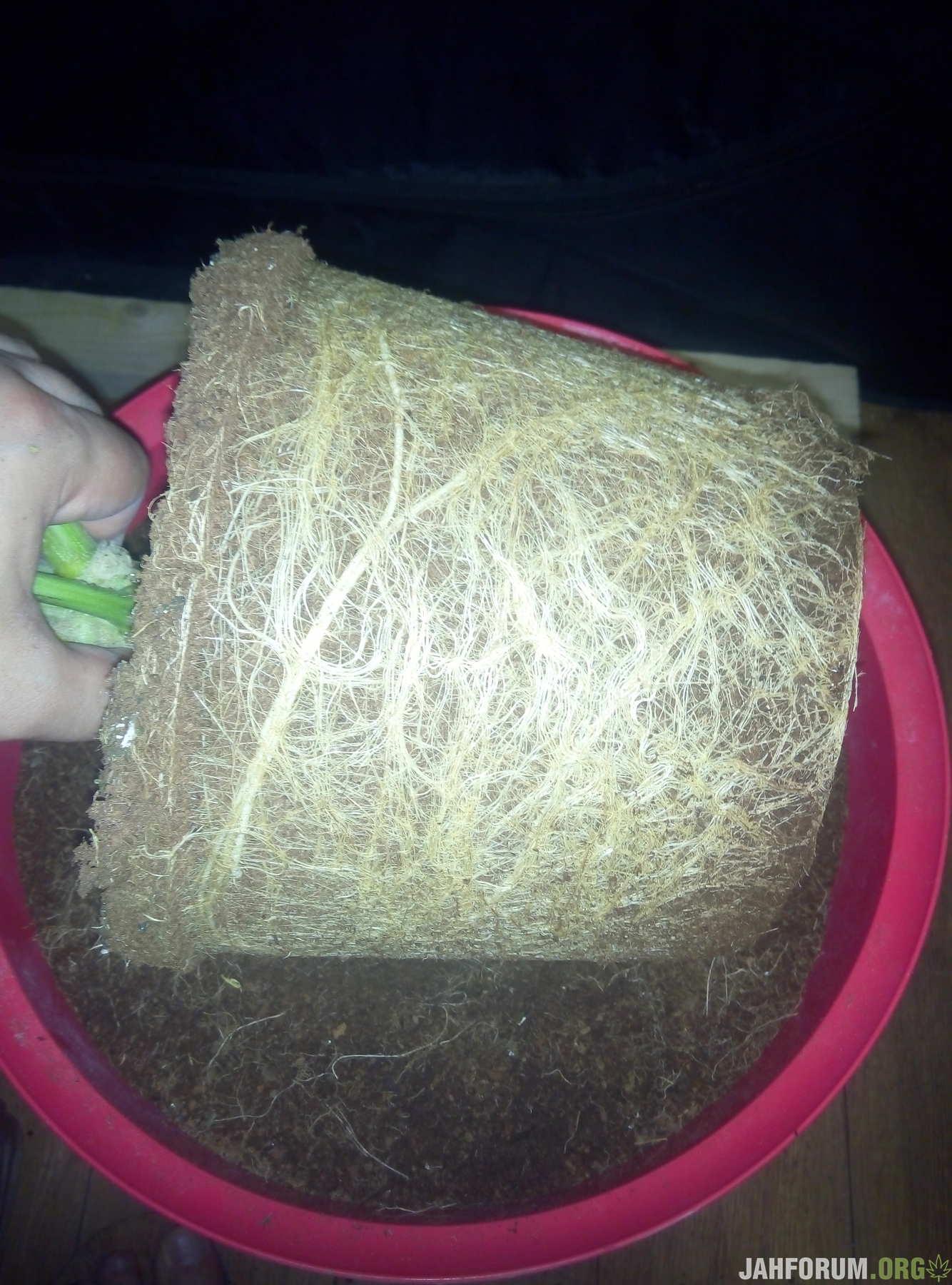 Корни в 7.5 литрах кокоса