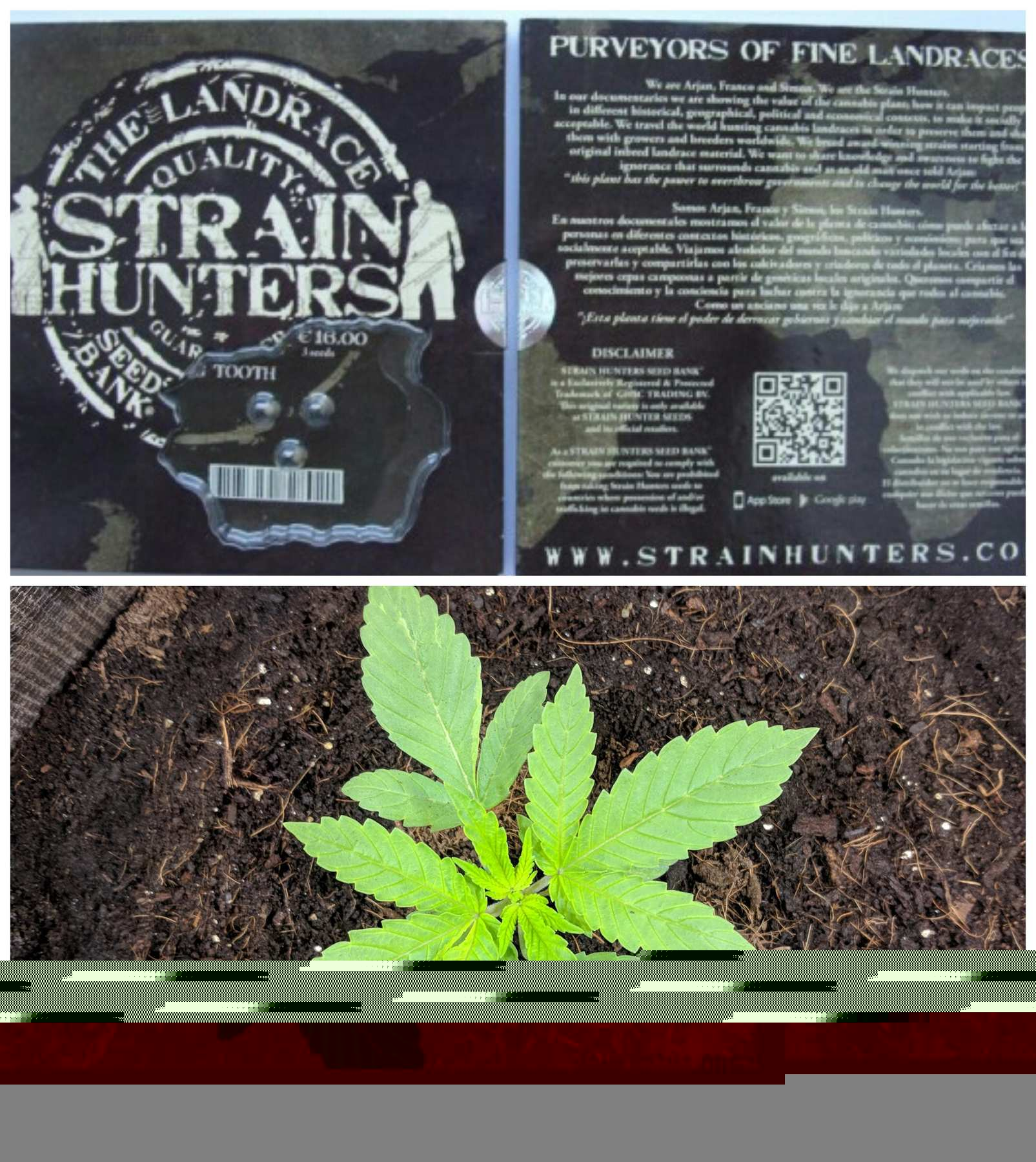 Strain Hunters Big Tooth feminized