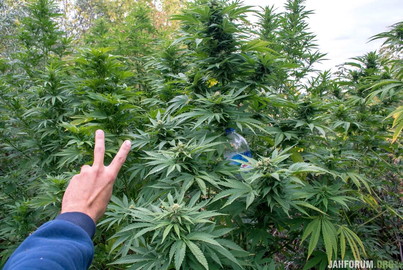 Плантари марихуаны где купить конопли днепр