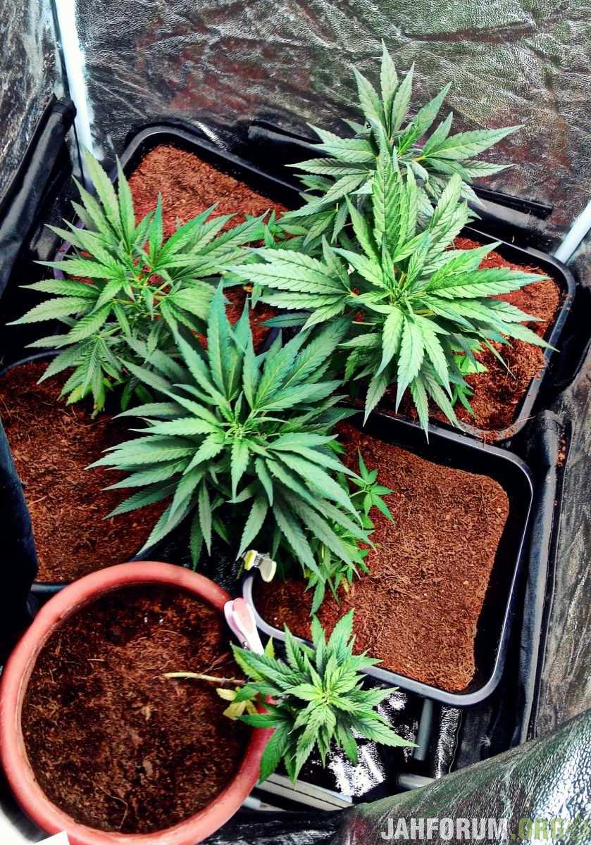 Законы украины о выращивании конопли буддисты и марихуана