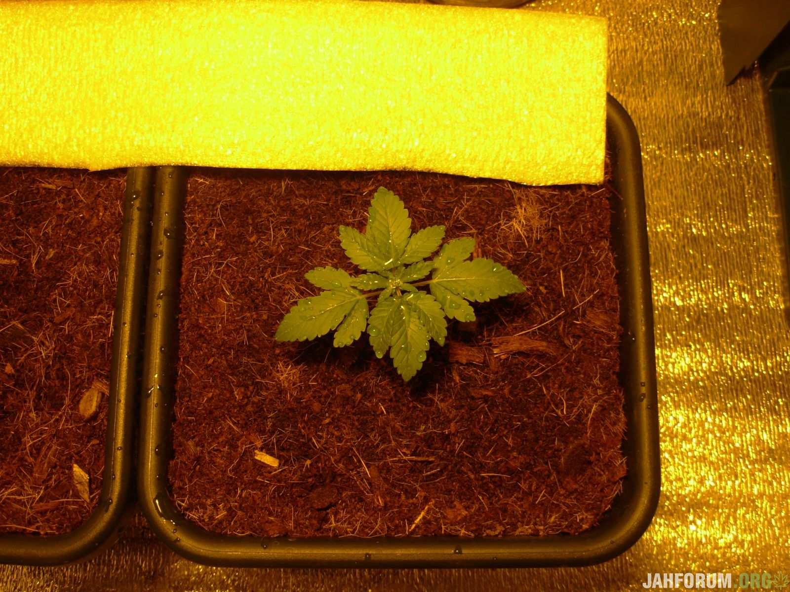 Super Bud Feminised,The Doctor Feminised-Green House Seeds...