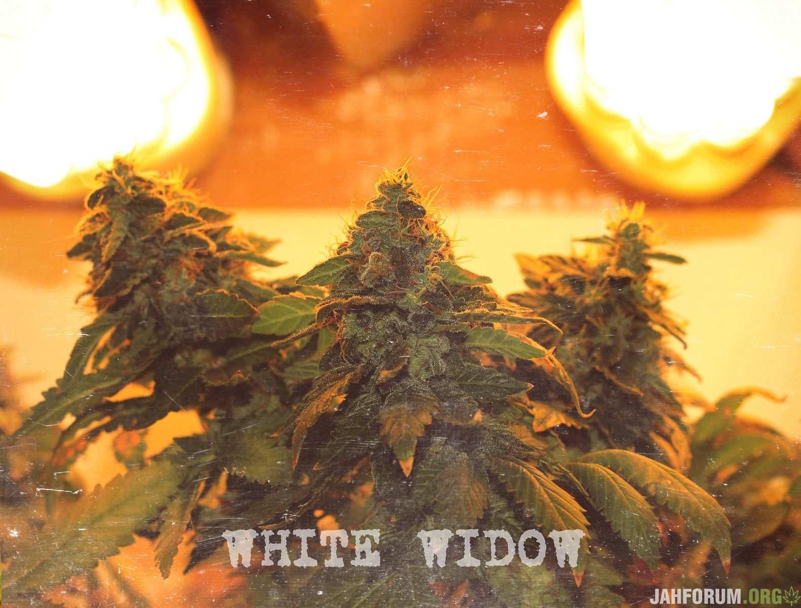 WHITE WIDOW (9нед)