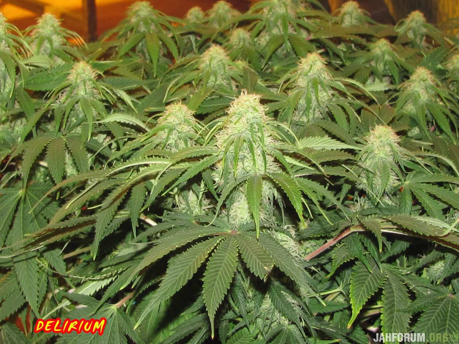 Марихуана циркон кто обманывал тест на марихуану