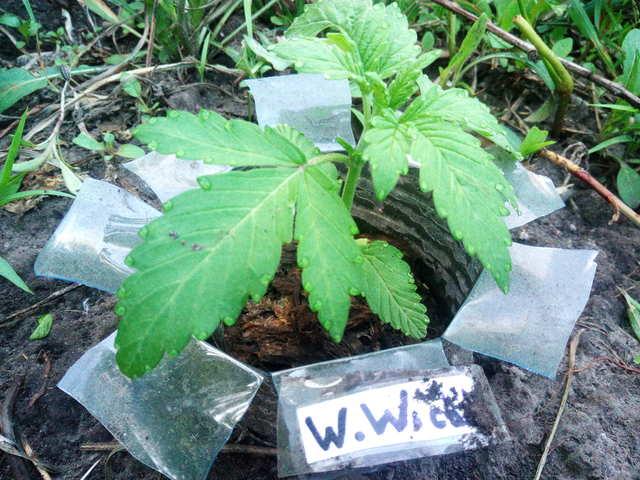 WW cpd GHS (green hous seeds) 12 дней.jpg