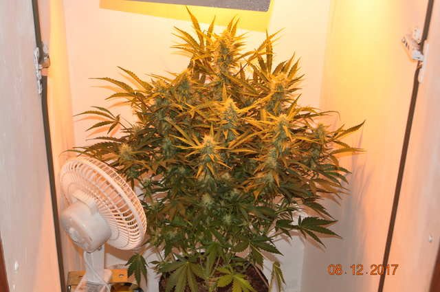 Green Lady bro @Kriss 14th day of flowering