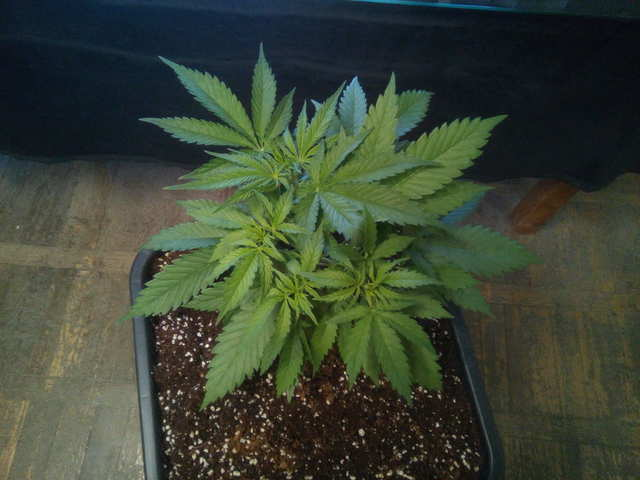 Critical + 2.0 fem (Dinafem Seeds) 16 дней веги