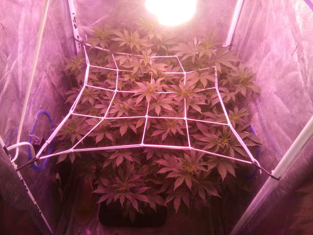 Wembley fem (Pyramid Seeds) Предцвет : День 4