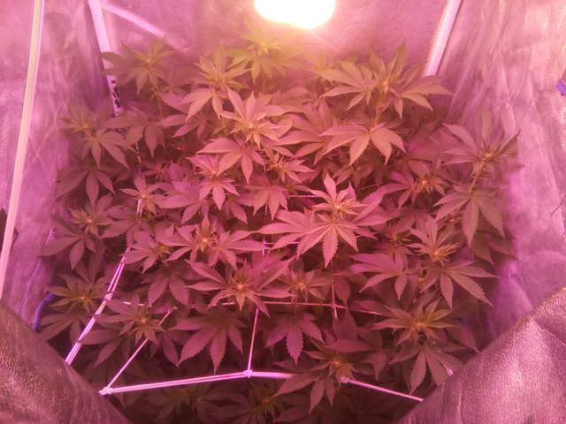 Wembley fem (Pyramid Seeds) 10 дней 12/12