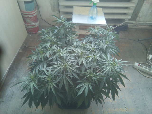 Critical + 2.0 fem (Dinafem Seeds)