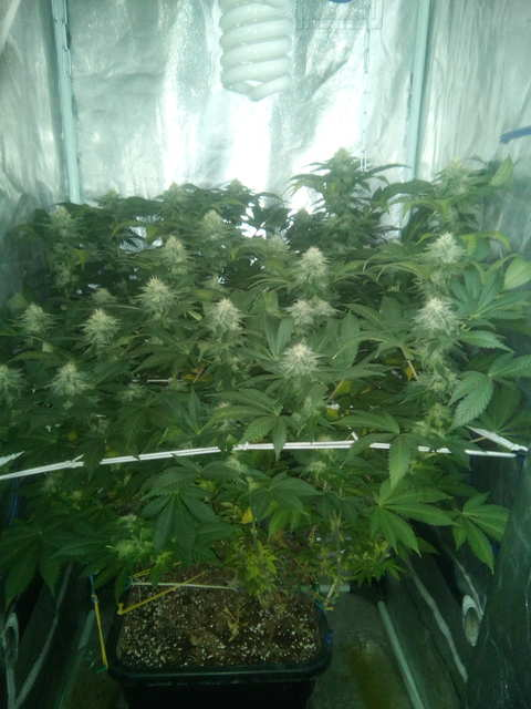 Wembley fem (Pyramid Seeds)