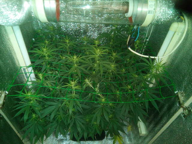 Critical + 2.0 fem (Dinafem Seeds) 9 дней предцвет