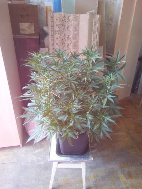 Galaxy fem (Pyramid Seeds)