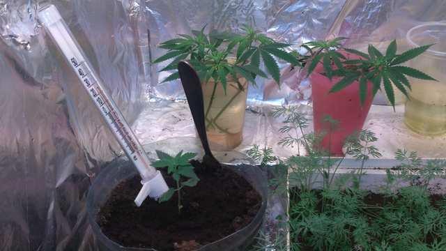 собственно клоны, укроп и 2 недельная растишка