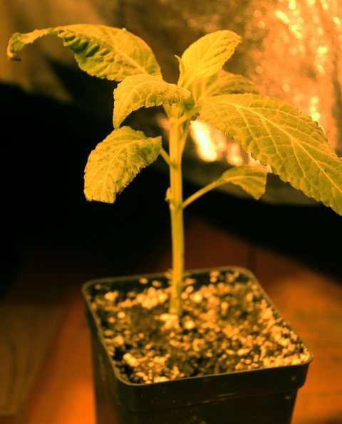 Salvia Divinorum 07