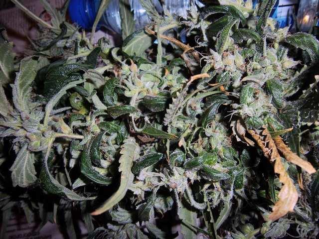 Satori fem. 125 дней от семки