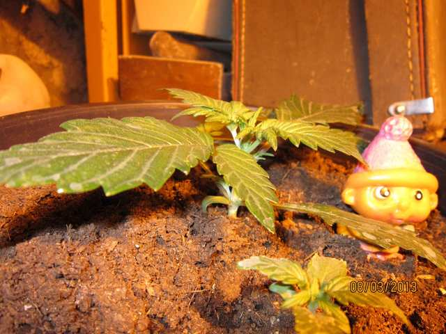 Auto Blueberry и садовод