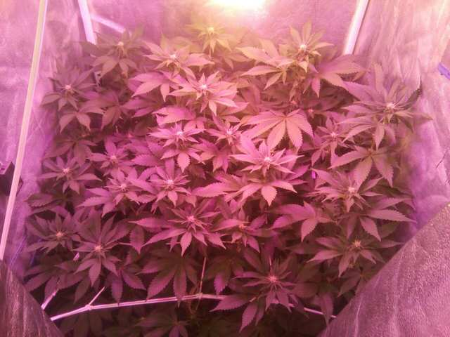 Wembley fem (Pyramid Seeds) 16 дней 12 / 12