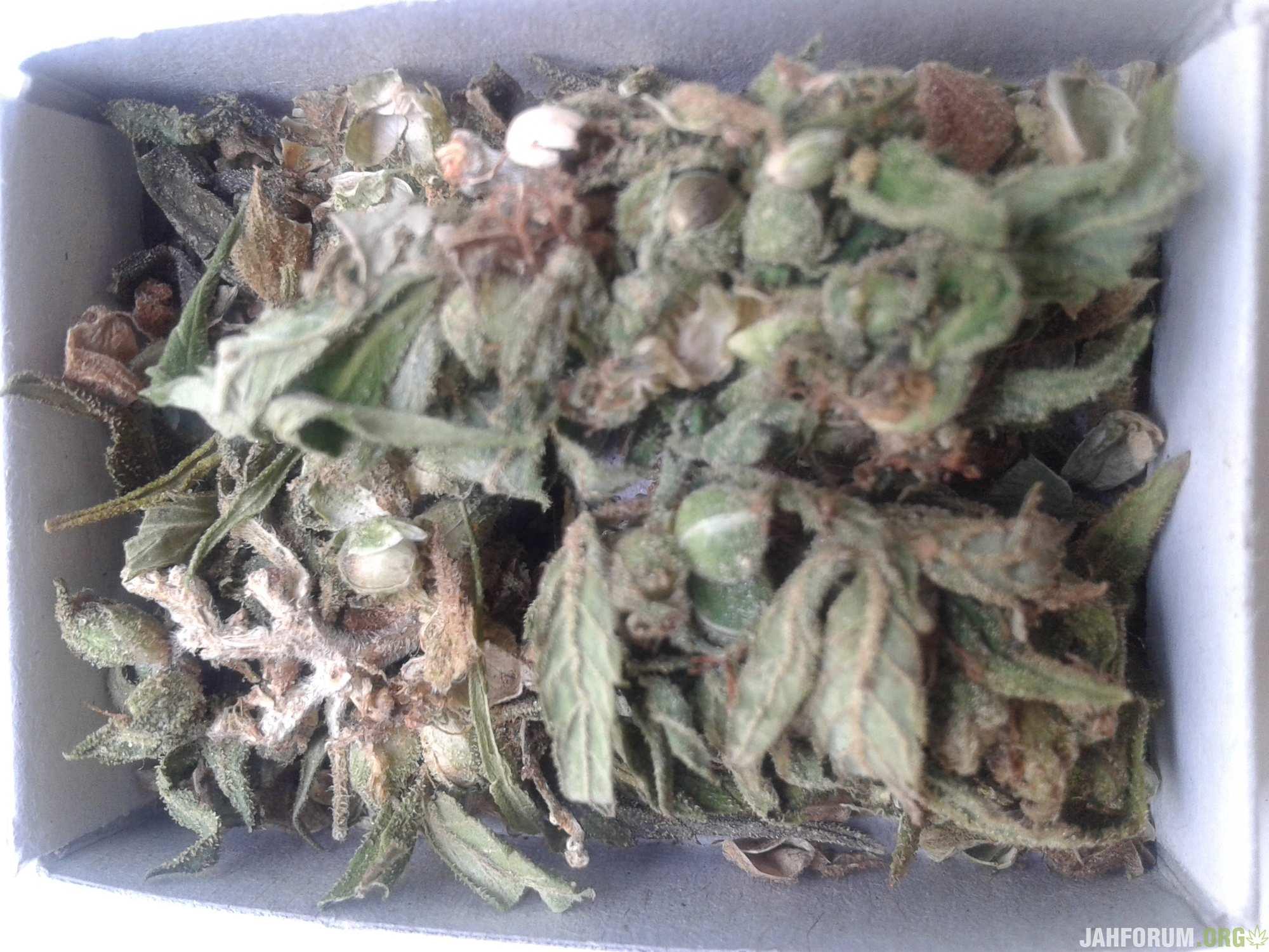 Auto Indica Mix reg. Errors Seeds