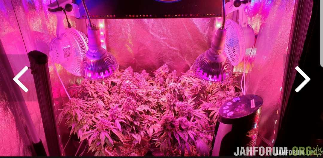 LED 800W (by Castaman) | LSD (Barney's Farm) | LEMON CAKE (Heavyweight Seeds)| COCO | 120x120x200 (Mammoth PRO120) | Canna | Advanced Nutrients | Cannabiogen Репорт Завершен