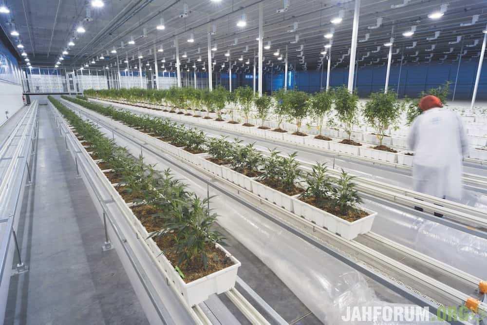 Внутри Aurora Cannabis: самый большой производитель в мире